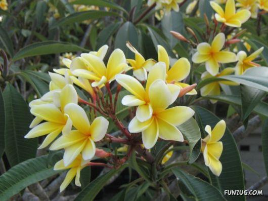 Beautiful Frangipani Flowers