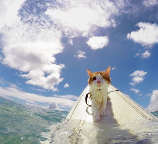 The Great Talented Partially Blind Surfing Cat