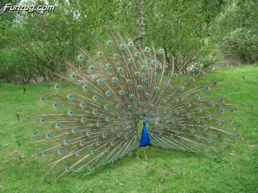 Click to Enlarge - Beautiful Peacock Wallpapers
