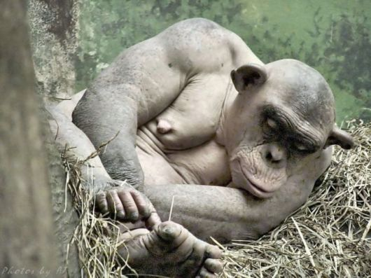 How Does A Shaved Monkey Look Like