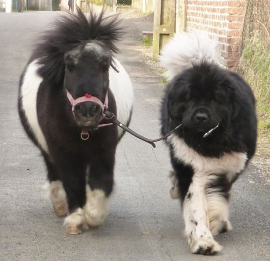Tiny Horses Are The Cutest Pets You Could Ever Have